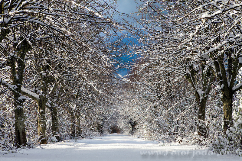 Beautiful perspective of trees in the alley covered with snow and blue sky in winter